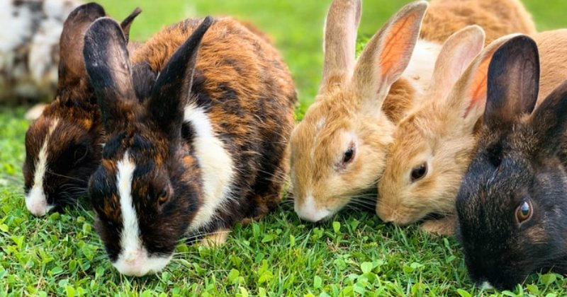 The Care of Outdoor Rabbits