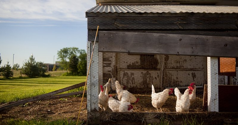 Must-have Supplies For A Clean Coop