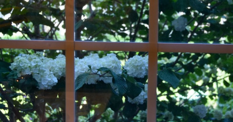 POW: Stunning Viburnum from Catjac1975