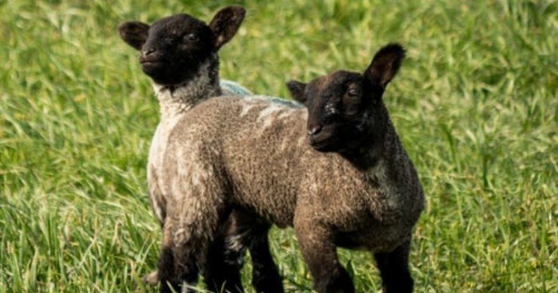 Raising Lambs