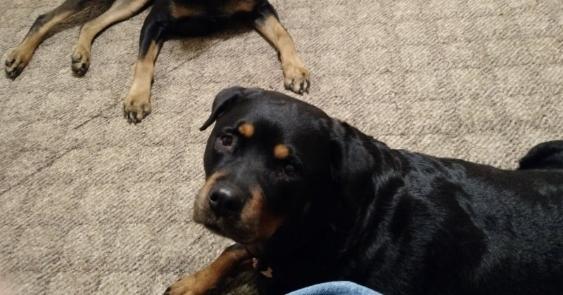 POW: Crealcritter's Beautiful Rottweilers from YourRabbitGirl