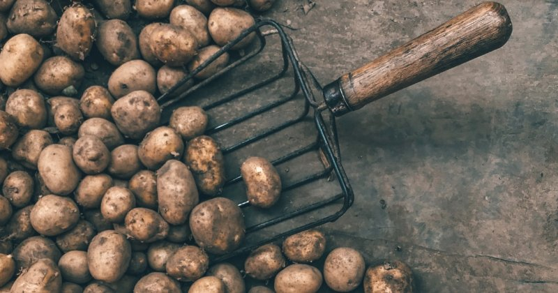 Secrets To Growing One Of My Best Potato Crops