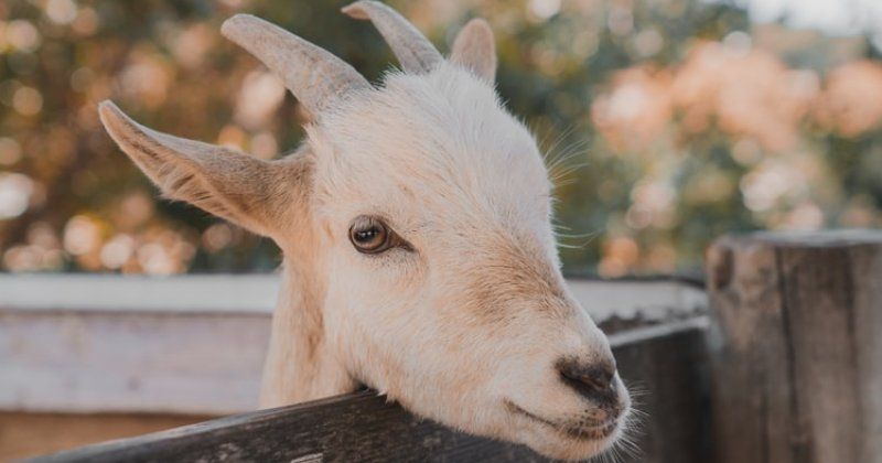 Goat Advice