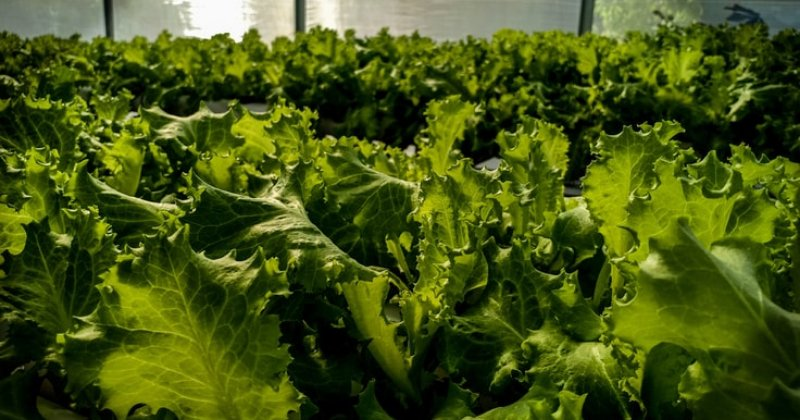 Best Tips For Growing Lettuce