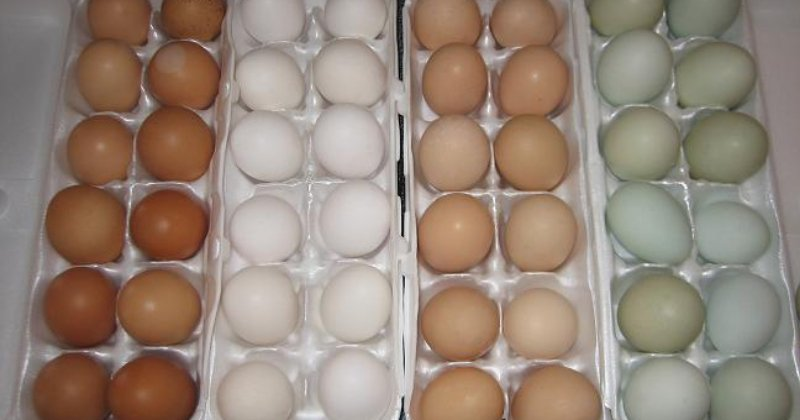 What Egg Color Does Your Breed Lay?