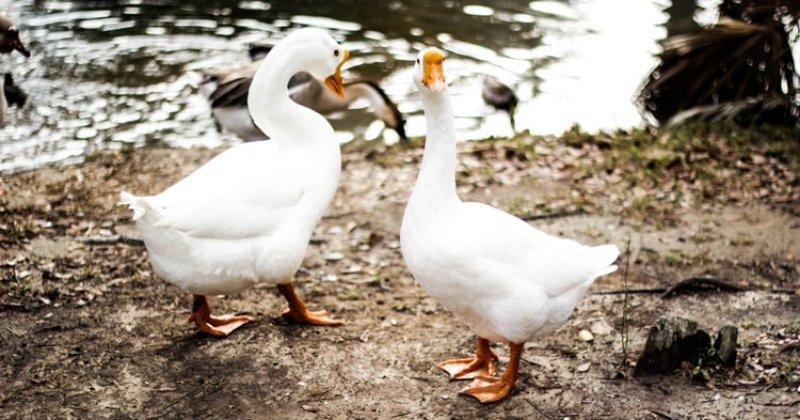Raising Geese: Pros & Cons