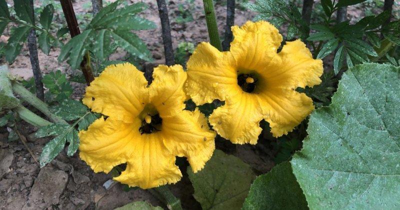 POW: Pollinator-stuffed Hubbard blooms from ByFaithFarm