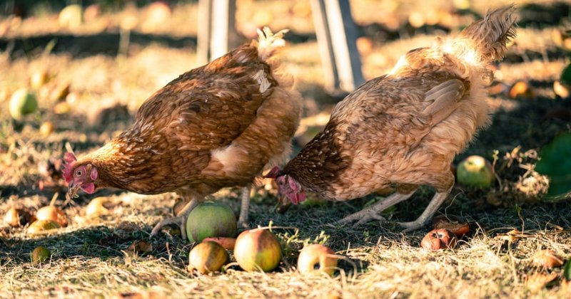 What WON'T your chickens eat?