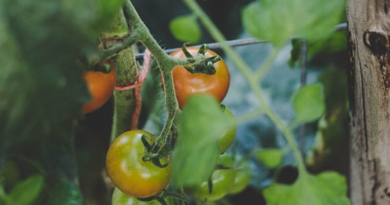 Can You Overwinter Tomatoes?