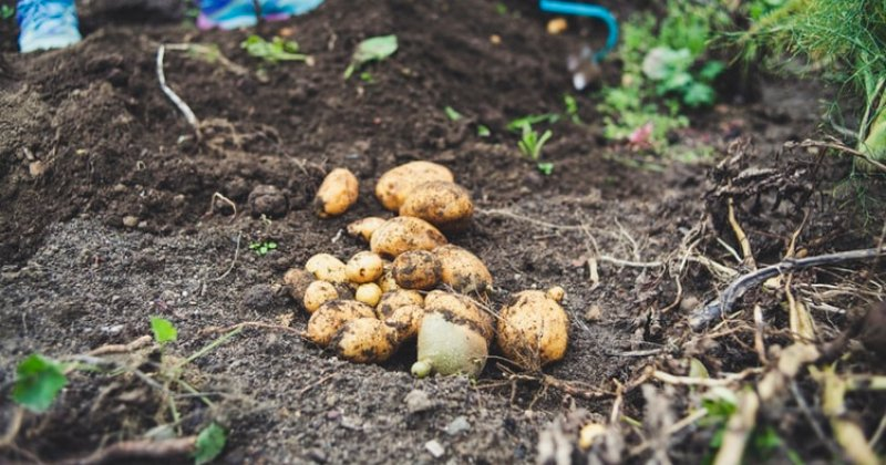 When To Plant Potatoes In The South