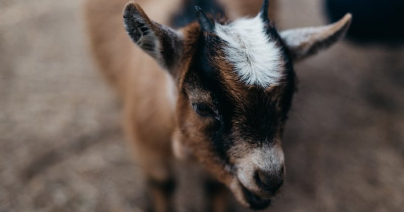 So You Bought A Baby Goat: Now What?