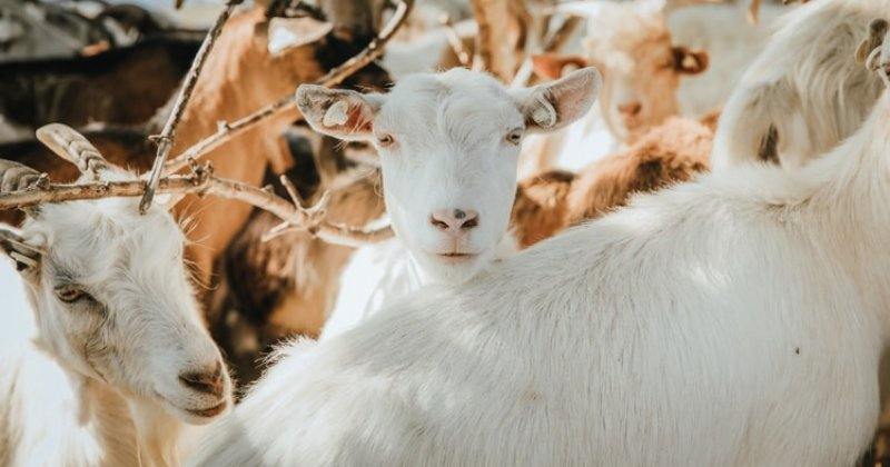 What Type of Goats Do You Have & Why?