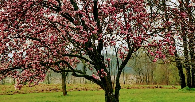 POW: Sugar Magnolias Blossoms from Crealcritter