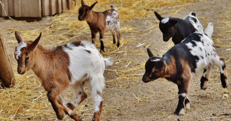 Starting A Goat Dairy Herd