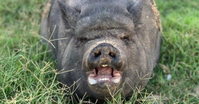 When A Pig Has Attitude