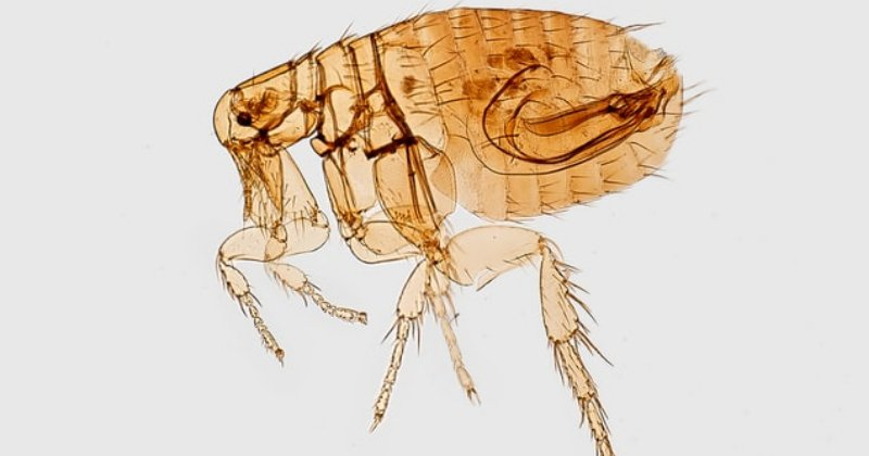 How To Control Fleas?