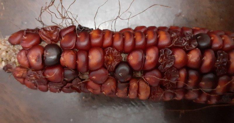 Corn Question