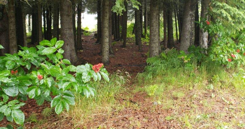 POW: Pathside Elderberries from Alaskan