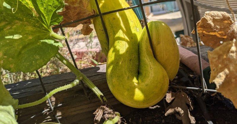 Cursed Crooked Cucumber
