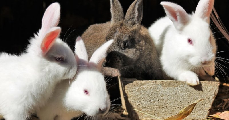 Rabbit Colony Planning