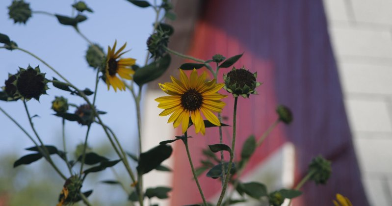 POW: Late Summer Sunflowers from Palomino